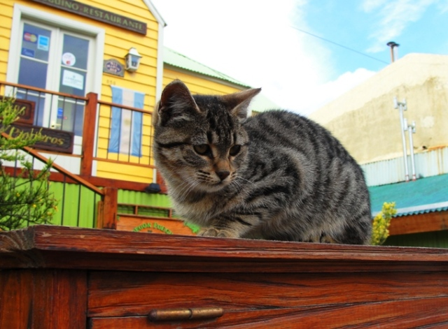 Ushuia Argentina, Furthest South Cat, Cat, Feline