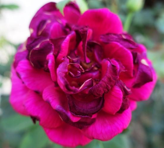 Mr. Lincoln Rose, High Heat, heat wave, roses, rose bush