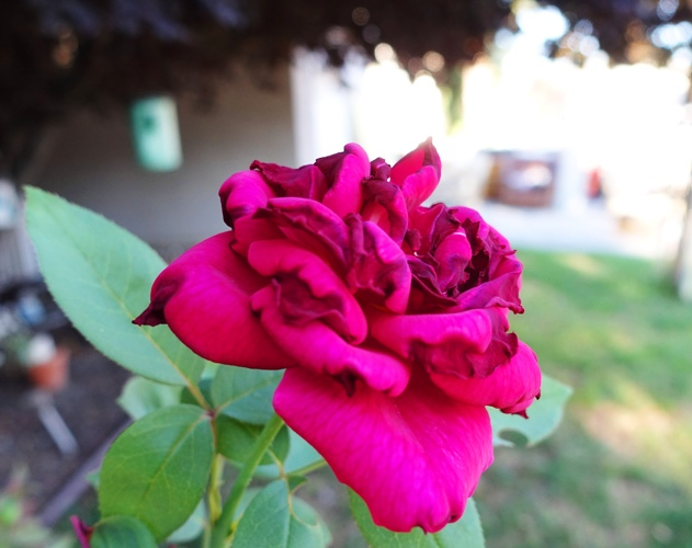 Wilted Roses, Heat, Heat Wave, Rose Bushes