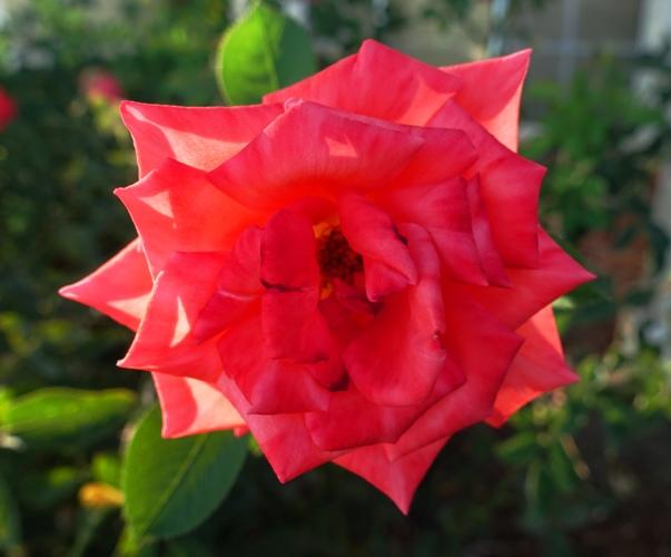 Wilting Tropicana, orange rose, wilting rose, heat wave