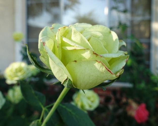 St. Patrick Rose, Green Rose, Rose petals, rose bushes, heat wave