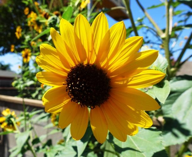 Sunflowers, Yellow Flowers, Kansas, Bees, Sunday Flowers