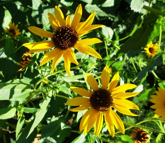 Sunflowers, Yellow Flowers, Kansas, Bees, Sunday Flowers