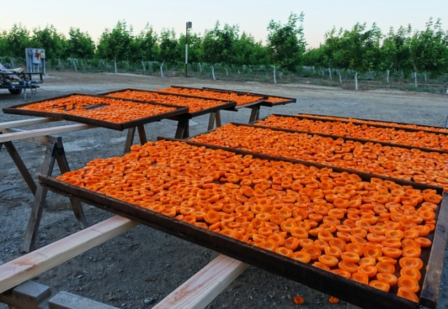 Apricots, Orange apricots, drying fruit, orchard