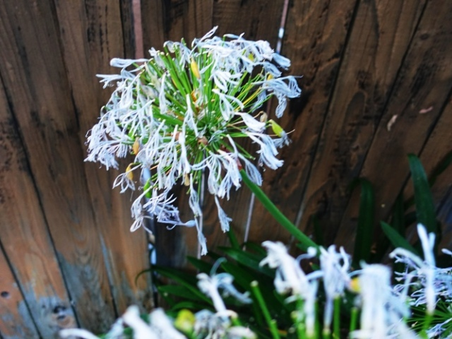Agapanthus, Withered Agapanthus, Summer Heat
