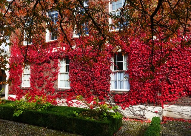 University Ivy, Cambridge University, Red Leaves