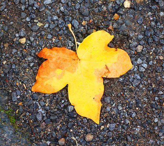 Fallen Leaves, Cambridge, Fall