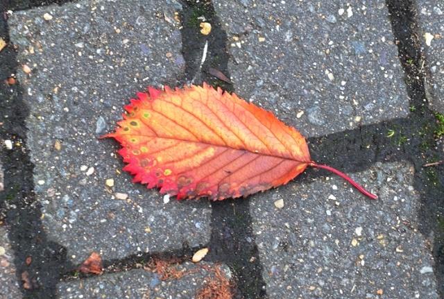 Leaf, Fallen leaf, cambridge, red leaf