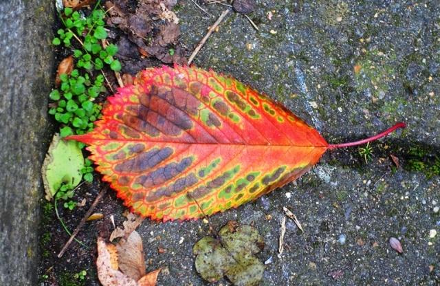 Color full leaf, Cambridge, England, Autumn, Fall