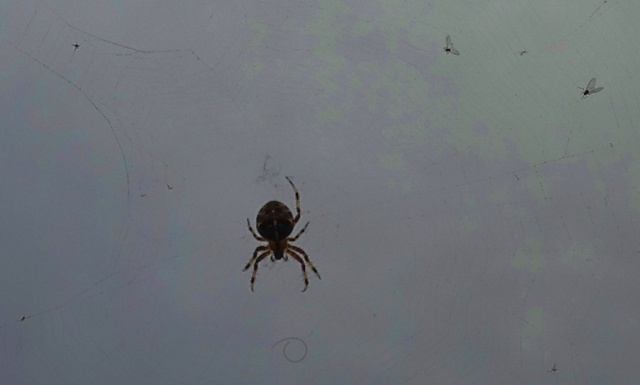 Walk from work, Cambridge, Spider