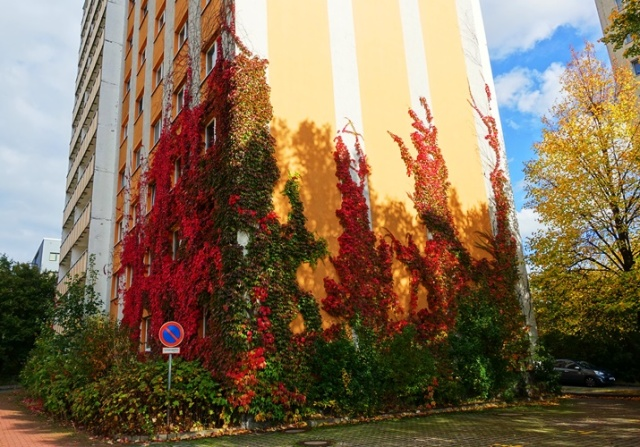 Ivy Covered Building, fall ivy, autumn color