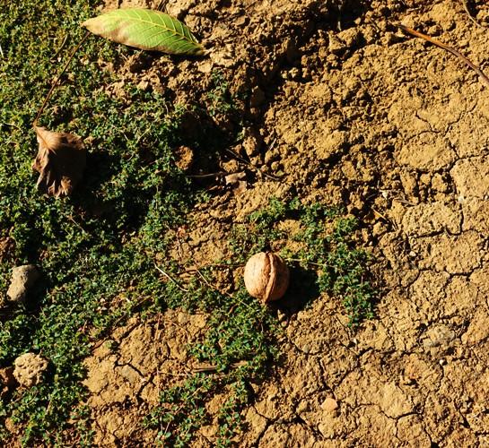 Walnut on Ground, Walnut Orchard, Walnuts