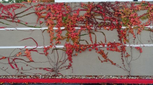 Ivy covered wall, dublin, california, fall