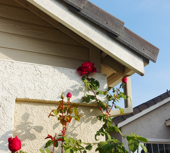 Roses, tall roses, eaves, Mr. Lincoln Roses