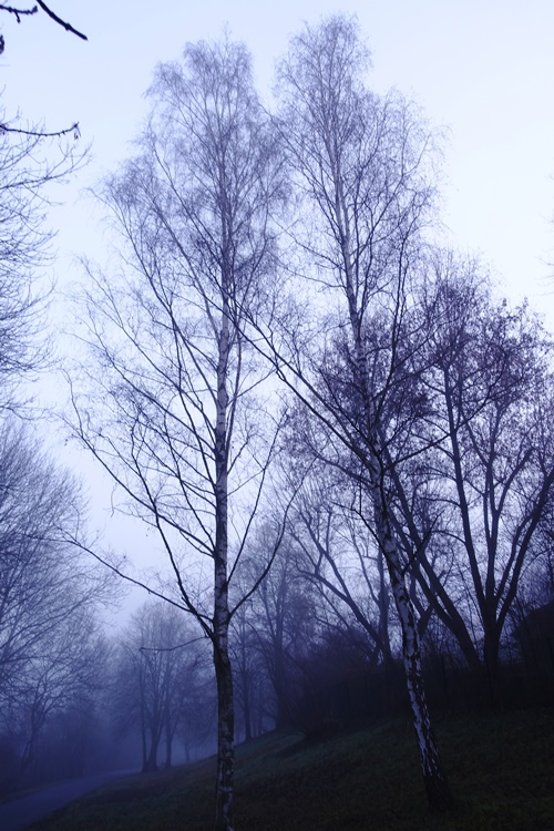 tall trees in fog, Jena, Germany, foggy morning
