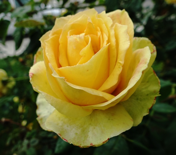 Yellow Rose in Fog