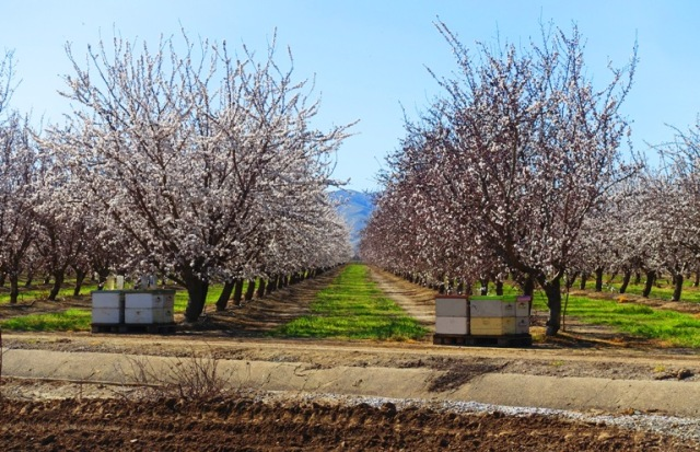 bee hives, almond orchards, california, central valley