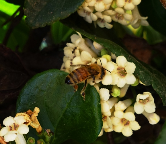 honey bees, California, pollination, bees