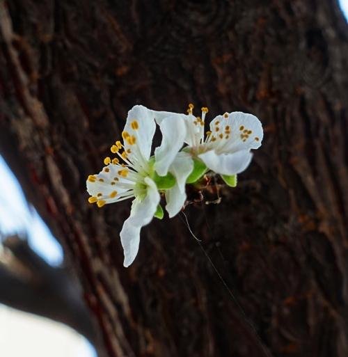 tree, bloom, white bloom, spring time, yard work