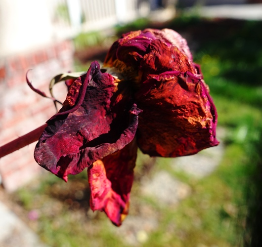 dried rose blossom, Mister Lincoln Rose Bush, Beauty and the Beast