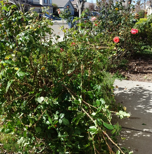 Pruning roses, rose bushes, pruning
