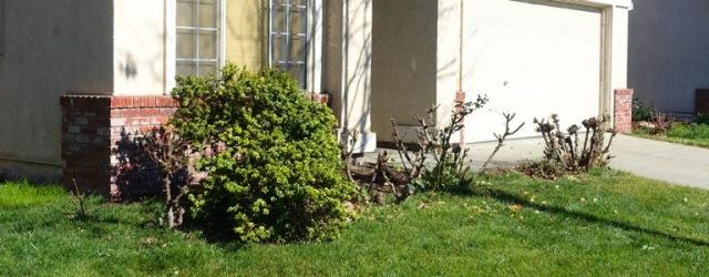 pruned rose bushes, pruning, spring pruning