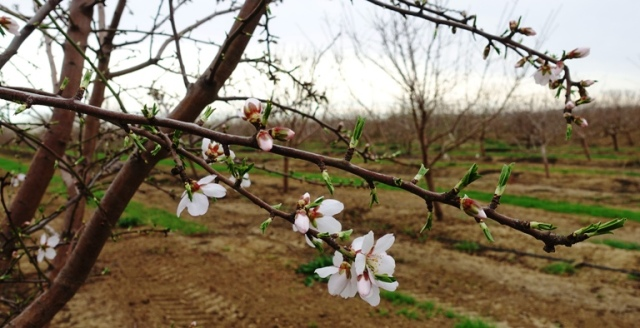 Almond Blossoms, Spring, California, Orchards