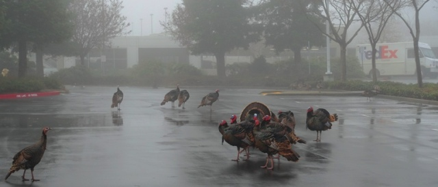 Wild Turkeys, Turkeys in the Fog, Parking Lot, Fog, Flock of Turkeys, Rafter of Turkeys