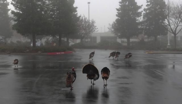 Wild Turkeys, Turkeys in the Fog, Parking Lot, Fog, Flock of Turkeys, Rafter of Turkeys