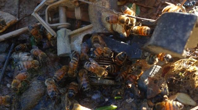 Bees, sprinkler, water, hydration, Honey Bees