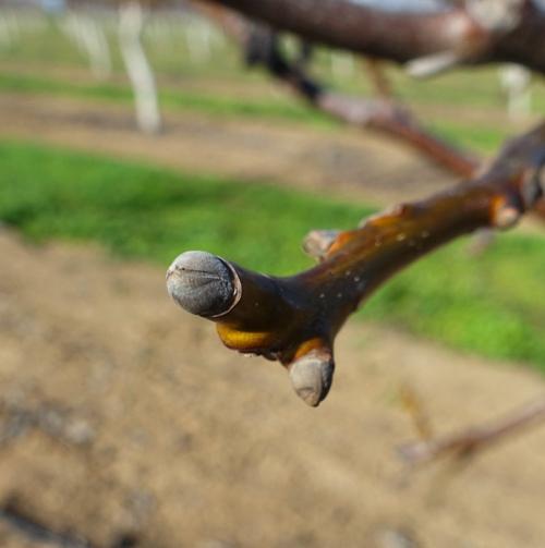 Walnut Tree, spring, delayed start, walnut orchard