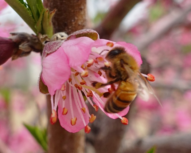 honey bee, blossom, fertilizing, pollen, orchard