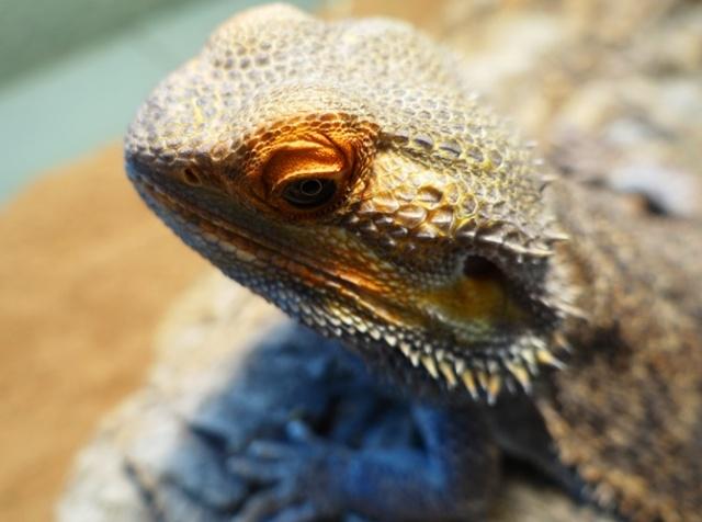 Bundy, Reptile, eyes, pets
