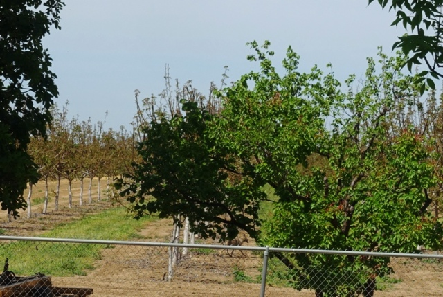 Coyote, orchard, Canis latrans ochropus
