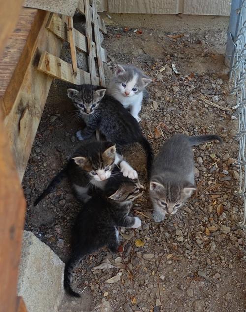 Orchard kittens, kittens, barn cats