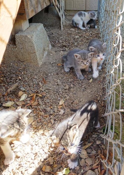 Six Kittens, Litter of kittens, barn cats, orchard cats