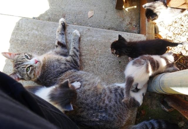 Mother Kitten, Litter of kittens, barn kittens, orchard kittens
