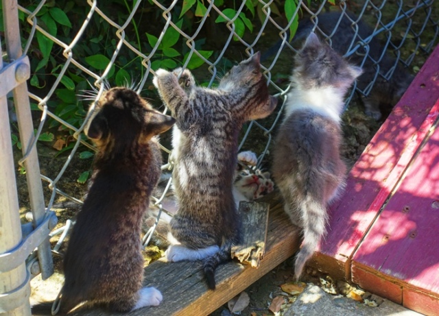 Chain Link Fence, Kittens Playing, hanging on a fence