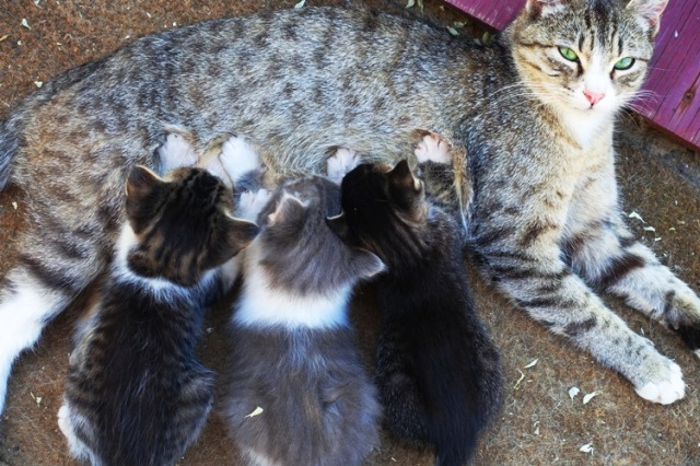 Feeding kittens, Mother Cat with Kittens, feeding time