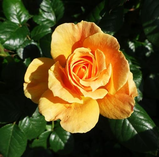 Yellow Rose Bloom, Yellow Rose Bush, Spring Blooms