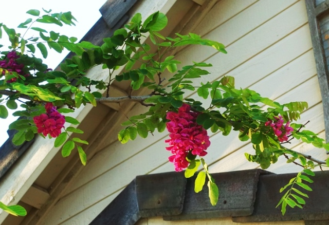 Locust Tree, Idaho Locust, robina, blossoms