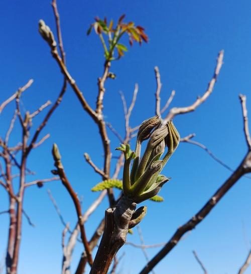 Walnut Trees, spring foilage, leaves, spring leaves