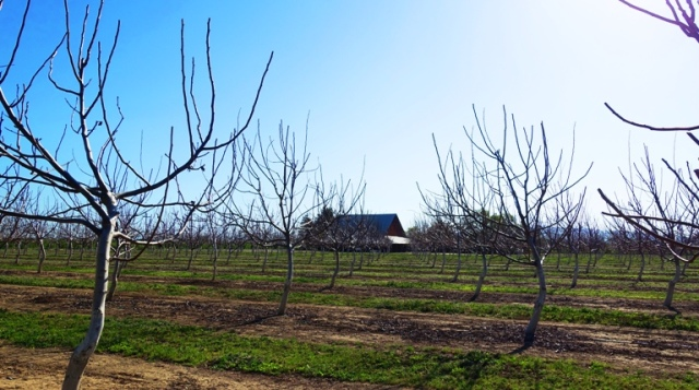 Walnut Orchard, No leaves, no blossoms, spring, late blooming
