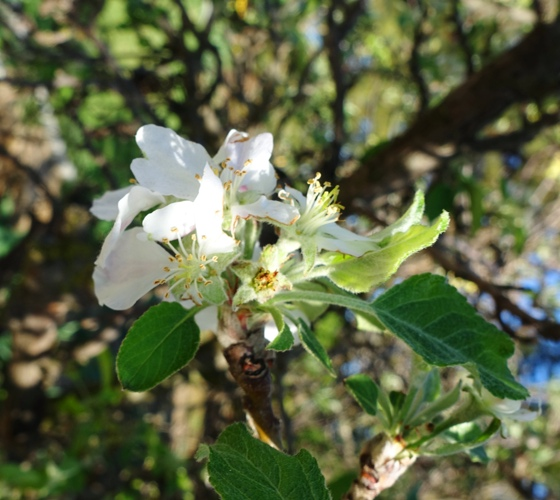 Apple Blossoms, Apple Trees, Spring blossoms
