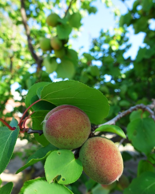 Ripening Apricots, spring fruit, orchard