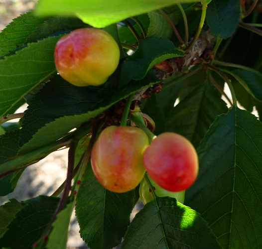 Cherries, orchard, cherry orchard, spring fruit