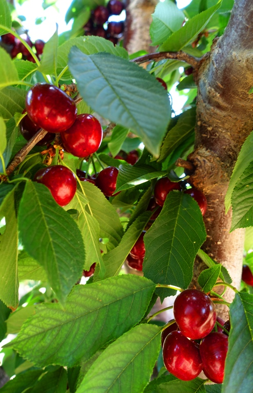 Cherry Orchard, Cherries, Cherry Harvest, ripe cherries, Central California