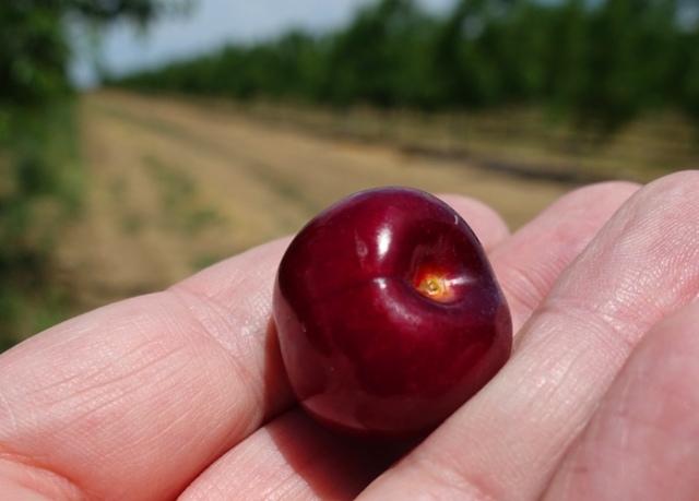 Cherry Orchard, Cherries, Cherry Harvest, ripe cherries, Central California