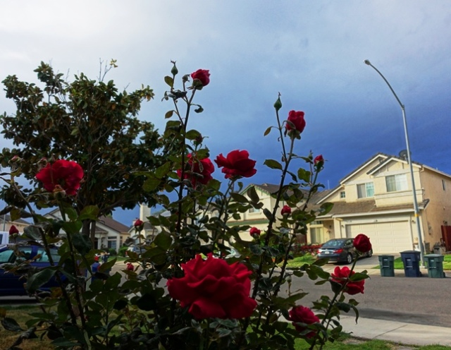 Mr. Lincoln Rose, Roses, Stormy sky, gloomy weather