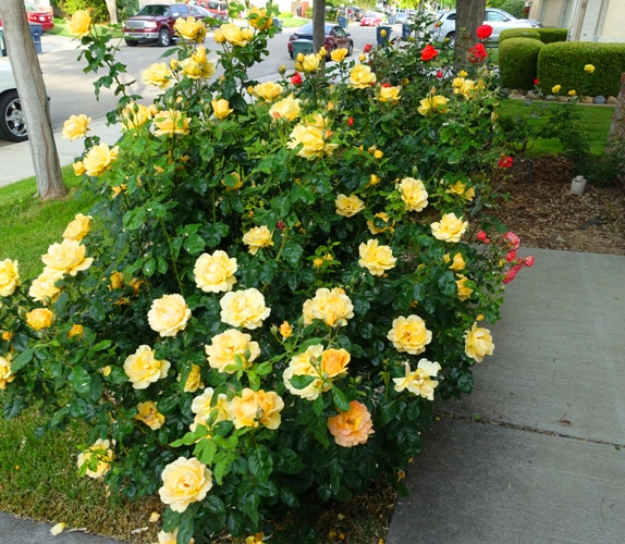 Yellow Floribunda, Yellow Roses, Rose Garden
